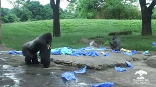 Baby Gorilla Gender Reveal
