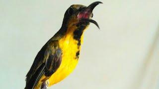 Masteran Burung SOGOK ONTONG | Sriganti GACOR Idaman Kicau Mania