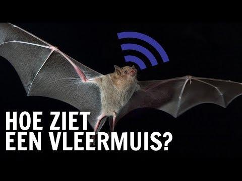 Hoe zien vleermuizen in het donker?    De Buitendienst over licht