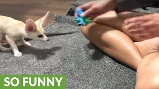 How to exercise an adorable fennec fox | Kholo.pk