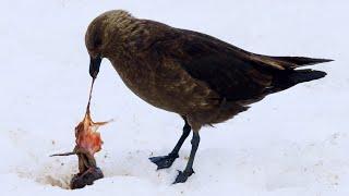 Penguin Chick Eaten by Skua | Penguin Post Office | BBC Earth