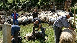 Šišanje 400 ovaca na Vlašiću kod Božijaka