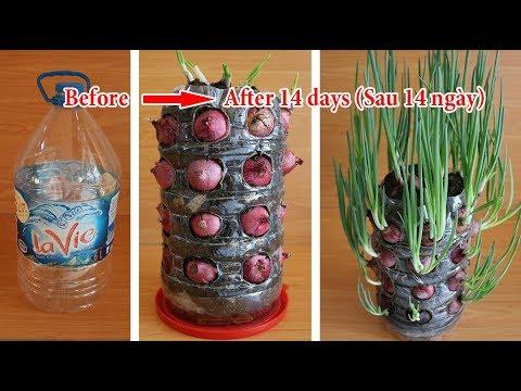 Trồng Hành Tây giờ đây không phải dễ mà là quá dễ   Growing Onions is not easy but it is too easy