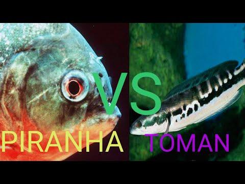 Piranha Vs Toman || Reaksi Ikan Toman Saat dikasih Makan Ikan Piranha