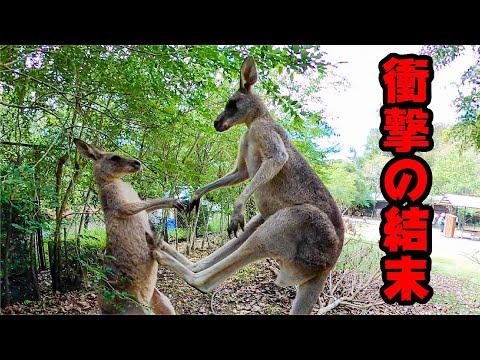 カンガルーの喧嘩撮影中に、思わぬハプニングが! Kangaroo fighting...me? #shorts