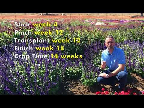 BFP TV: Mysty Salvia Culture Best Practices thumbnail