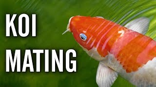 Koi Spawning / Mating Behavior