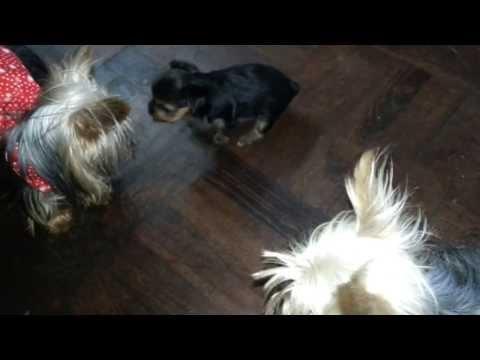 Come eliminare vermi a un cucciolo