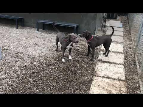 Felicity, an adoptable Weimaraner & Pit Bull Terrier Mix in Pasadena, CA