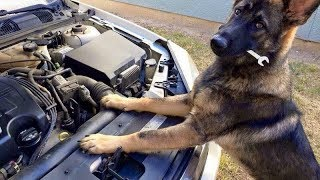 Funniest & Cutest German Shepherd Videos #20 - Compilation 2017