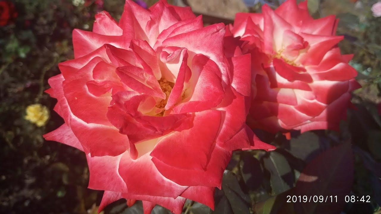 Самая изящная французская роза!