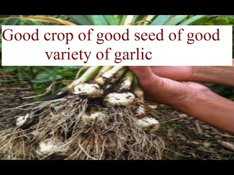 , title : 'Good crop of good seed of good variety of garlic