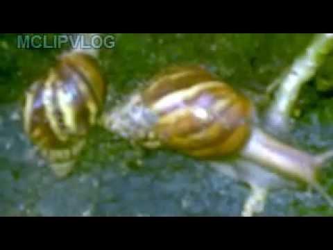 Video Bekicot kebun, garden snail
