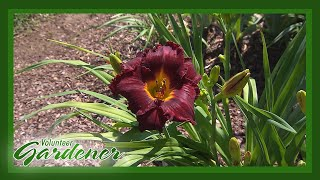 Hybridizing Daylilies As A Hobby | Volunteer Gardener