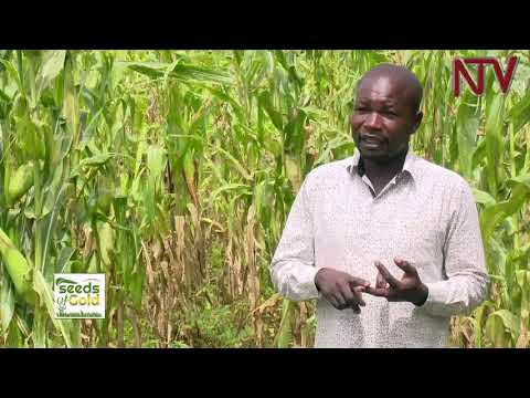 SEEDS OF GOLD: How to earn from maize growing