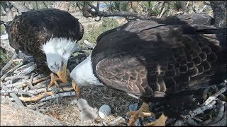 Big Bear Eagle Cam ~ First Feeding Attempt For BB1 ~ Shadow Watches Mom Offering Food 4.14.19