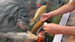 preview picture of video 'Koi bei der Handfütterung'