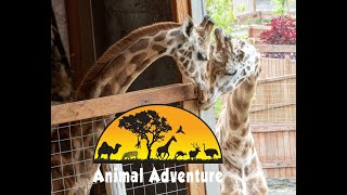 Oliver & Johari Giraffe Cam - Animal Adventure Park