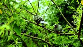 Как спят голуби/Pigeons asleep