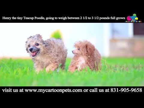 Teacup poodle Henry Playing under the sun.. He is so cute