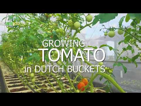 Growing Tomato in Dutch Buckets