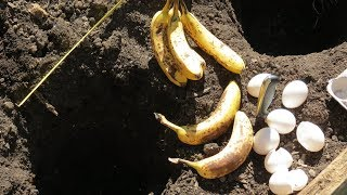 Using Eggs and Bananas as Organic Fertilizer for Tomato Plants: Using Compost Holes 1of3