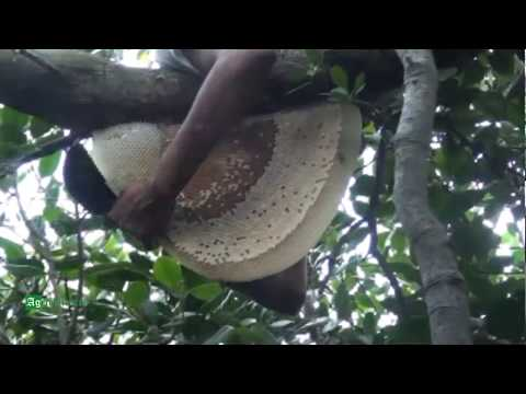 Honey Harvesting from Mangrove Forest
