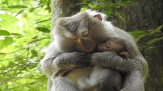 Why Other Pigtail Take Care New Baby Monkey Instead The First One ST887 Mono Monkey