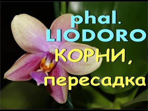 ОРХИДЕЯ phal. LIODORO:корни,ПЕРЕСАДКА