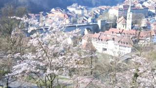 スイス発 2017ベルンばら公園ソメイヨシノ桜3月27日【スイス情報.com】