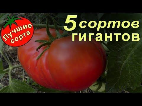 Урожайные семена томатов - гигантов. (лучшие сорта томатов)