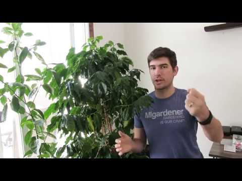 5 Tips To Getting Your Coffee Plant to Fruit