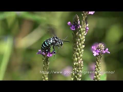 庭のブルービー(ルリモンハナバチ)の飛翔
