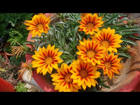 How to Collect Seeds of Gazania Plant for Next Season || Fun Gardening