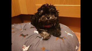 Prada the 4 month old Maltipoo Puppy - 6 Weeks Residential Dog Training