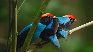 Manakin birds have all best dance moves | Seven Worlds, One Planet | BBC Earth
