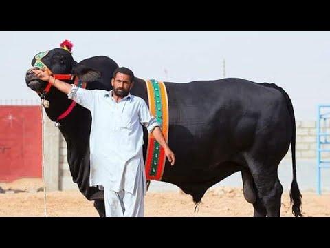 Bachchon Ki Mandi bade bade baal  bilkul munasib kimat mein 03410341995 I am Mohammad Sabir goat far