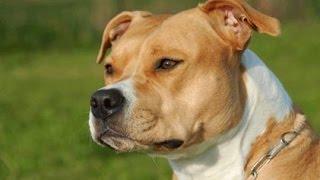 American Staffordshire Terrier - Amstaff - Raza De Perro