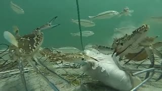 Камера на ловушке крабов под водой - Видео онлайн