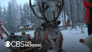 Reindeer near Santa's hometown need help to survive climate change