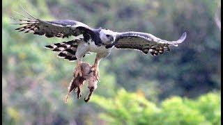 This bird kills and eats monkeys (eng subs)