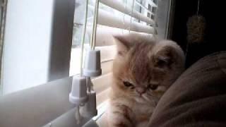 Смотреть онлайн Кот экзотической породы играет с жалюзи