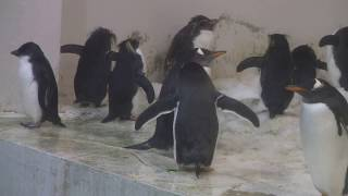 #1-4 April 2018 penguin at Adventure world, Japan