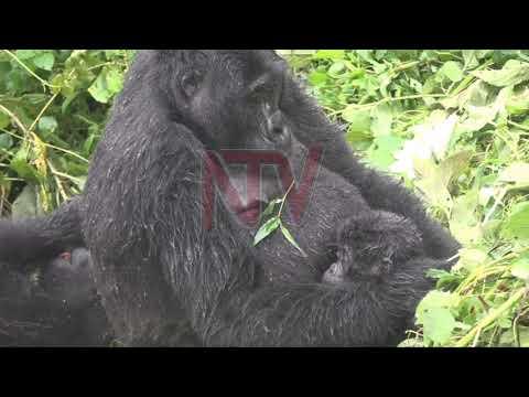 Uganda's gorillas feted to restart quiet sector
