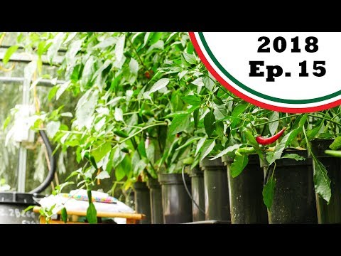 , title : 'Super hots ripening up! And my theories on pepper heat (2018.E15 Garden Updates)