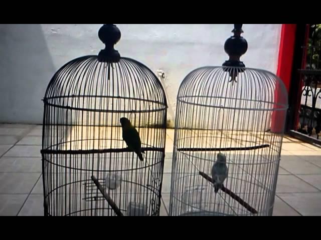 Lovebird-dakocan-vs-lokal-3gp