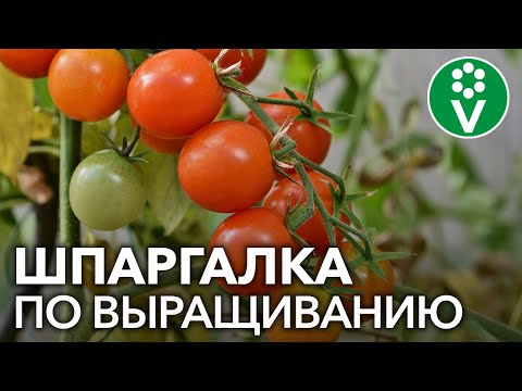 ТОМАТЫ ОТ А ДО Я: выбор сорта, посев, рассада, посадка помидор