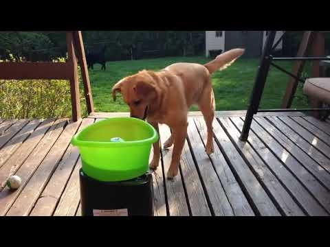 הכלבלב שמככב בסרטון הזה מתלהב בצורה יוצאת דופן ממכונה להעפת כדורים