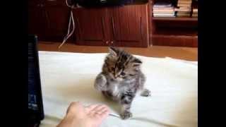 Котенок дает лапу!!!  Ржака!!!