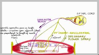 Muscle spindles: basic mechanism of these stretch sensors